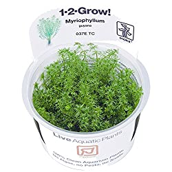 Tropica 1-2-Grow! Myriophyllum Guyana 1 Stück