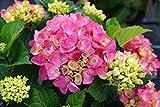 Hortensie rosa Blüte Bauernhortensie Rosita Hydrangea macrophylla Rosita Containerware 30-40 cm hoch
