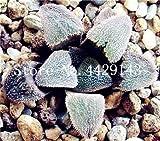 IDEA HIGH Seeds-200 Pcs/Lot Bonsai Büro Schreibtisch Blumen Yulu Pseudotruncatella Stein Viva Lithops Sweatshirts Bonsai Anti-Strahlung Luftreinigung: 12