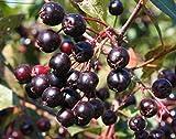 Las semillas orgánicas: 2 Choke, s, fruta comestible, Ving '' negro, Aronia melanocarpa por Farmerly