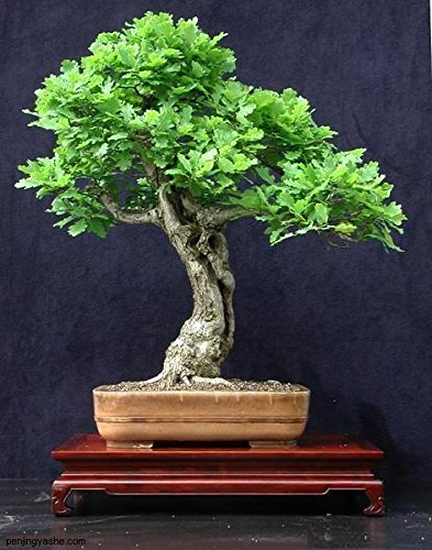 pinkdose vendita calda 5 pz mini piante in vaso quercia albero bonsai quercus alba ghiande per giardino domestico di diy spedizione gratuita
