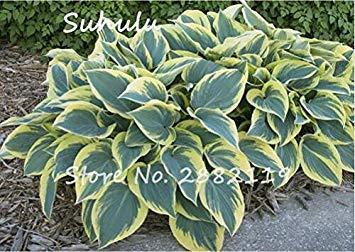 20pcs Hosta Seeds Fragrant seedain Beautiful Flower And Shade Lace Bonsai Home Garden Ground Cover 5 By farmerly -