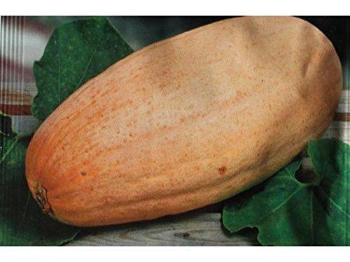 graines semences fruits grand potiron banana 60 à 75 cm comestible fruit/ legumes potager