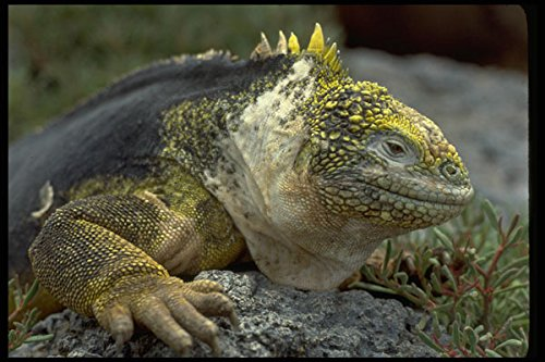 381008 South Plaza Land Iguana Close up Galapagos Islands A4 Photo Poster Print 10x8