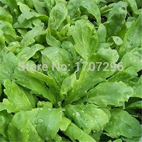 Grande semences de légumes chrysanthème - 100 pcs / lot