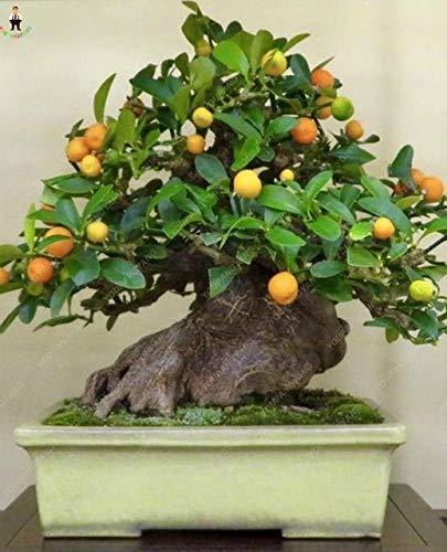 Pinkdose Prezzo più basso!20pcs piante albero di limone frutta plantas pianta bonsai giardino domestico fai da te BONSAI floresling commestibile verde limone fioriera: grigio chiaro