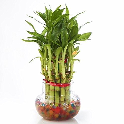 Nurturing Green Lucky Bamboo Two Layer Big Round Glass Pot  available at amazon for Rs.275