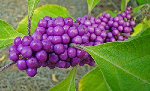 Liebesperlen Schönfrucht 100 Samen