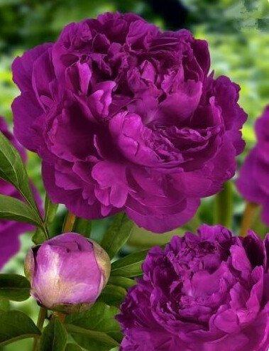 10pcs / sac de graines de pivoine, jaune, graines de fleurs de pivoine rose chinoise belles graines de bonsaï plantes en pot pour le jardin de la maison 7