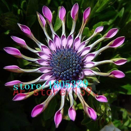 Bloom Green Co. Geld verlieren !!!! 100pcs Importierte Auge Orchideensamen Farben Blumensamen für Zuhause Pflanze freies Schiff exotische Zierblumen gemischt: mix - Exotische Augen