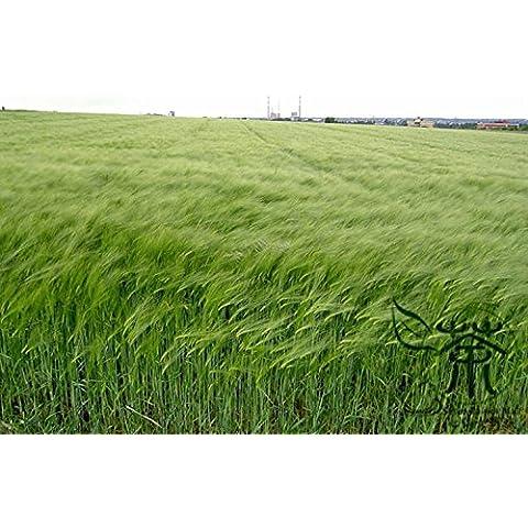 Familia Poaceae VULGARE Semillas 200pcs, ampliamente Crop Adaptable semillas de cebada de grano, semillas Anual de la Salud hierbas naturales Da Mai