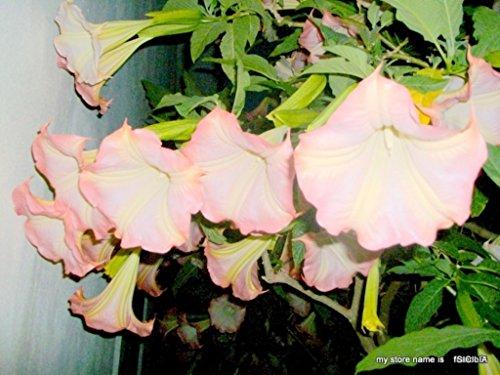 brugmansia graines - 25 jaune