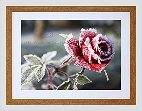 PHOTO WINTER FLOWER FROSTY PETALS RED ROSE FRAMED PRINT F12x9871