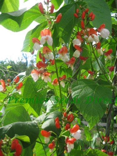 Premier Seeds Direct Painted Lady Feuerbohne beinhaltet 35 Samen