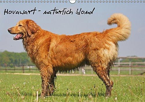 hovawart-naturlich-blond-wandkalender-2017-din-a3-quer-hovawart-ein-hund-mit-vielen-farben-und-natur