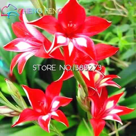 Galleria fotografica 30 semi / bag perenne Gladiolus fiore raro all'aperto giglio di spada Semi Planter Lily Bulbi bella per piante Casa giardino Osservare