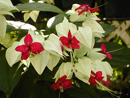 Clerodendrum thomsoniae FREE SHIP Herz e Quart Bluten by Farmerly