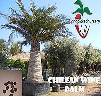 Potseed Samen Keimung: 5 Chilean Wine Palm Samen, (Jubaea chilensis) von Hand gepflückt Nursery
