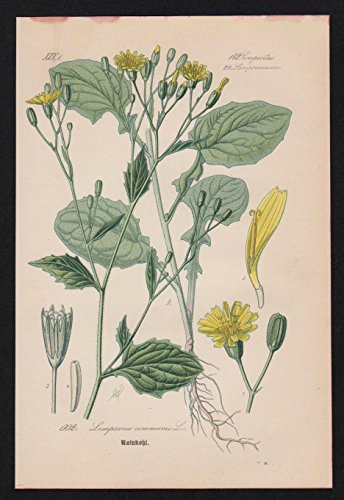 Rainkohl Lapsana Lithographie Kräuter Heilkräuter herbs herbal