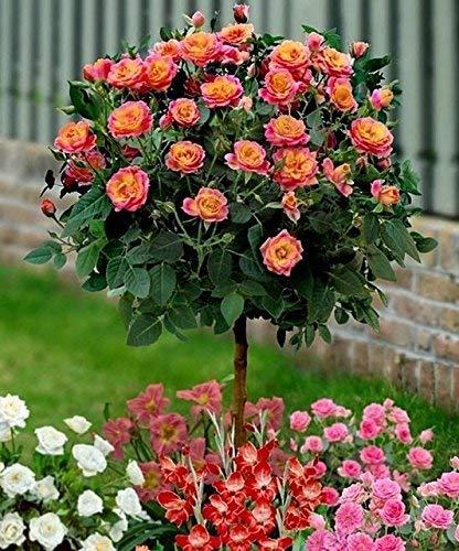 Buy NooElec Seeds India Orange Rare Colour, Gorgeous