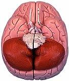3B Scientific C15 Modelo de anatomía humana Encéfalo Introductorio, desmontable En 2 Piezas
