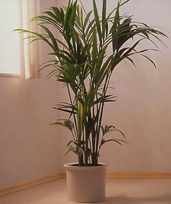 Kentia-Palme 80cm hoch, 1 Pflanze von Dominik Gartenparadies bei Du und dein Garten