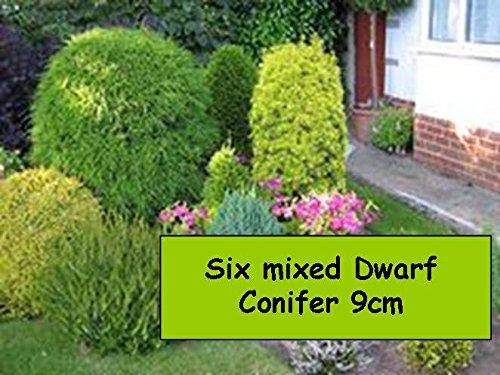 garden-shrub-plants-6-dwarf-conifers-fir-trees-shade-loving-hardy-outdoor-garden-bush