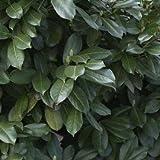 Kirschlorbeer Prunus laurocerasus 'Etna' 50/60 cm 5 L Co.