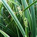 lichtnelke - Japansegge (Carex morrowii ' Variegata ') von Lichtnelke Pflanzenversand auf Du und dein Garten