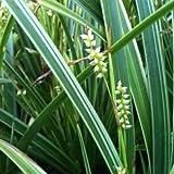 lichtnelke - Japansegge (Carex morrowii ' Variegata ')