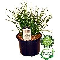 Schnittknoblauch Pflanze, Allium tuberosum, Frische Kräuter Pflanze aus Nachhaltigem Anbau!