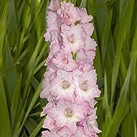 7 Blumenzwiebeln rosa KEBOL Gladiole Blue Frost Ideal f/ür die Vase