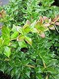 Berberis verruculosa - Warzige Berberitze - immergrün -