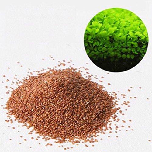 Plant Seeds, Aquatic Wasser Gras Decor Vordergrund Pflanze Mini Leaf Gras ()