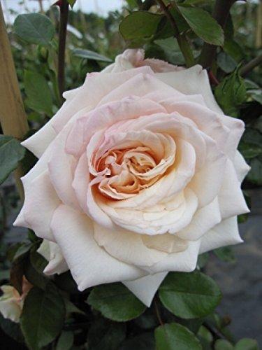 Kletterrose Penny Lane® - Rosa Penny Lane® - honig-champagner - Duft+ - Harkness-Rose