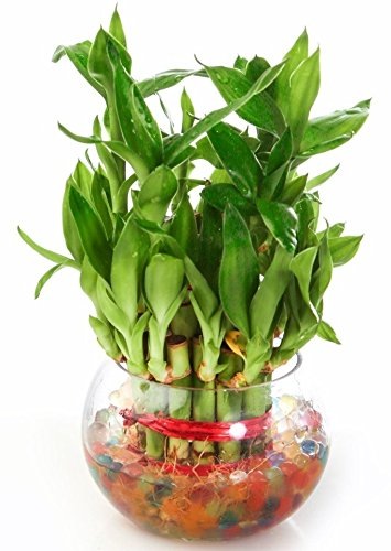Green Ivy Lucky Bamboo Indoor Plant 2 Layer with Round glass pot  available at amazon for Rs.295