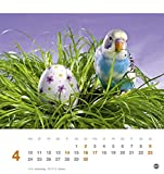 Freche Wellensittiche Postkartenkalender – Kalender 2017 - 5