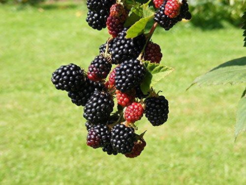 Fruchtbengel FB6401JW