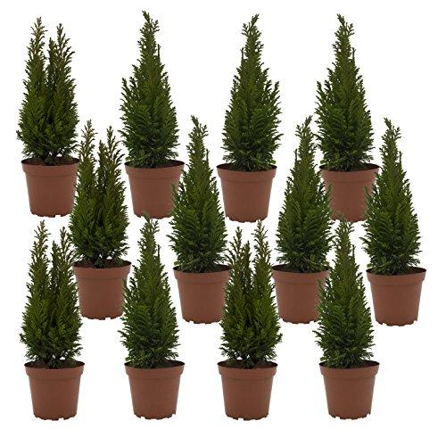 """Dominik Blumen und Pflanzen, Lebensbaum-Hecke \""""Brabant\"""", 12 Pflanzen für ca. 4 Meter Hecke, 20 - 30 cm hoch, 0,9 Liter Topf, immergrün, plus 1 Paar Handschuhe gratis"""