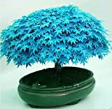 #7: Rare Sky Blue Maple Bonsai Tree Seeds - BEE Garden Organic