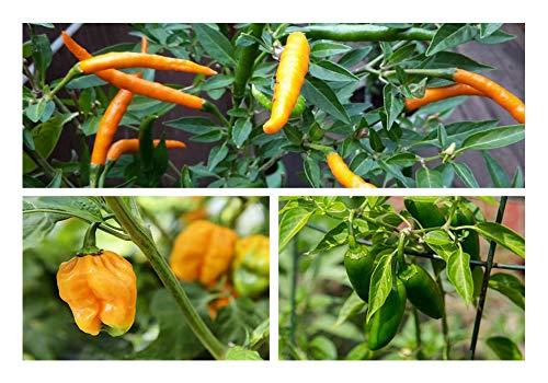 ZAC Wagner Chili-Pflanzensortiment 3 Verschiedene Sorten im Topf Für Feinschmecker und Chilifans Chilipflanze Chilipflanzen