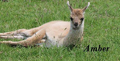 Coffret cadeau Adoptez un Lama – avec Visitez Coupon pour vous et deux invités.