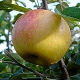 Apfelbaum Dülmener Rosenapfel alte robuste Sorte saftig süß Buschbaum 120-150 cm 10 Liter Topf M7
