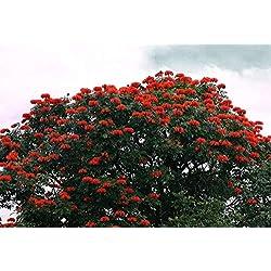 Vistaric Afrikanischer Tulpenbaum 25 Samen - Spathodea campanulata von Hirts: Samen; Bäume & Sträucher