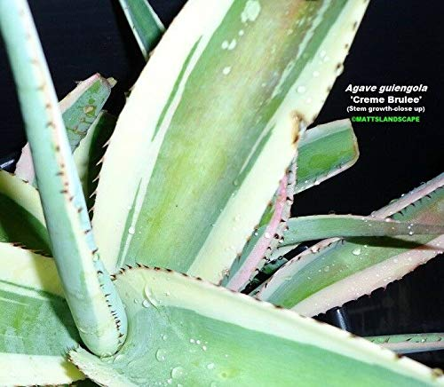 FARMERLY Agave, Guiengola Creme Brulee, LRG 5 G Topf voll, Sukkulente, Variegated, No, oe by -