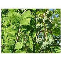 Dawn Redwood Tree – Pianta metasequoia glipostrobotide – foglia morbida, bronzo autunnale, corteccia esfoliante