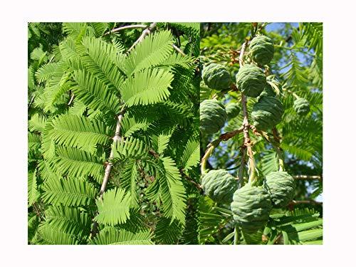 2 x Dawn Redwood arbres Metasequoia Glyptostroboides, 15–20 cm/8 cm Pot de fleurs, feuillage, doux, Bronze Couleurs automnales, exfoliant, DE COULEUR Cannelle écorce