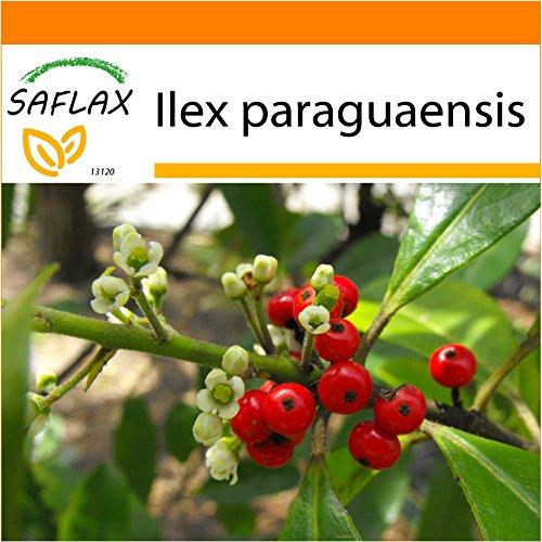 SAFLAX - Garden in the Bag - Yerba mate - 10 semillas - Ilex paraguaensis
