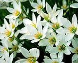 Speciale fragrante semi di fiori Lobularia maritima, Hornsey seme palla, spezie palla di neve, circa 50 particelle