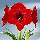 Amaryllis Royal Velvet - 1 bulbe de fleur